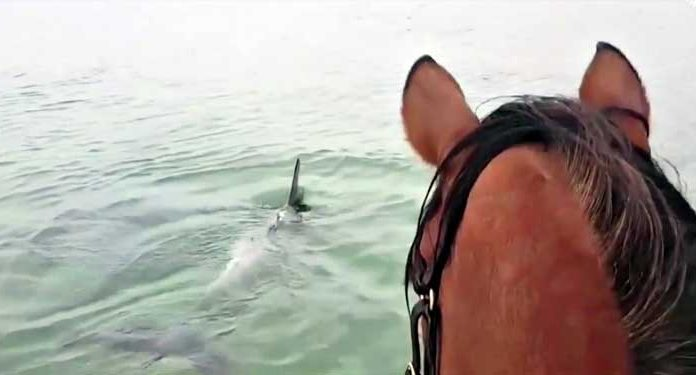 Horse Trotting In The Ocean To Meet Dolphins