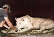 Lioness-cub-man