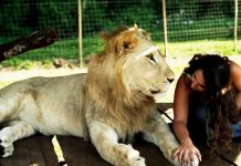 lions-and-or-lazmi
