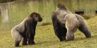 rare-footage-of-gorilla-in-zoo